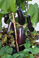Grafted Eggplants aubergine growing, purple, staked, mixed with foliage plant annual coleus Solenostemon and fruit berries Fragaria strawberries in vegetable and fruit garden