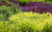 Bright green foliage of Autumn Moor Grass Sesleria autumnalis with purple blue flowers of Meadow Sage (Salvia x sylvestris) and Allium in Lurie Garden Millenium Park, Chicago