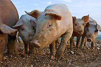 Pigs at Sheepdrove Organic Farm, Lambourn, England  where Camborough sows are kept with Duroc boars.