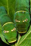 Western tiger swallowtail caterpillars