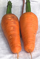 Carrot 'Chanteray' harvested root vegetable crop on white background