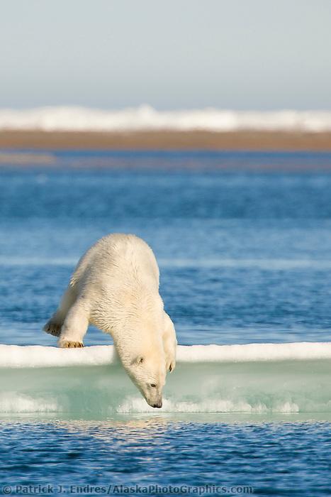 Polar bear on ice berg in the Beaufort Sea, off the coast of Barter Island, Kaktovik, Alaska