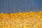 Freshly fallen maple tree leaves along a blue fence