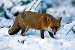 Red Fox, Vulpes vulpes, Blean Woods, Kent, Captive, in snow.United Kingdom....