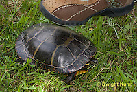 1R14-516z Stepping on shell of Painted Turtle. Shell provides protection, Chrysemys picta