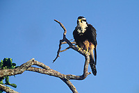 527550044 an adult wild female aplomado falcon falco femoralis ruffles its feathers or rousts while sitting in a tall tree in tamaulipas state in mexico this species is federally listed as endangered in the u.s.