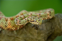 489180010 a captive green and red banded eyelash viper bothriechis schlegelii sits coiled on a tree limb species is native to south and central america