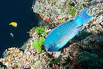 Bligh Waters, Rakiraki, Viti Levu, Fiji; a large, colorful Steephead Parrotfish feeding on the coral reef