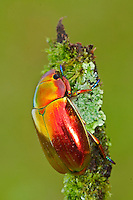 Metallic Beetle, Costa Rica