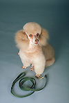 poodle with a leash