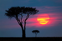 Acacia trees on the savanna of Masai Mara, Kenya at sunrise