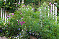 The garden in the summer is a mass of cosmos