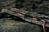412180002 a wild plains blind snake leptotyphlops dulcis dulcis lays coiled in a mesquite log on a ranch in the rio grande valley of south texas