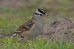 White-crowned sparrow at Ano Nuevo SR
