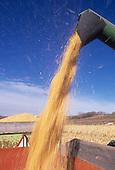 Loading harvested Corn into a truck (Zea mays).