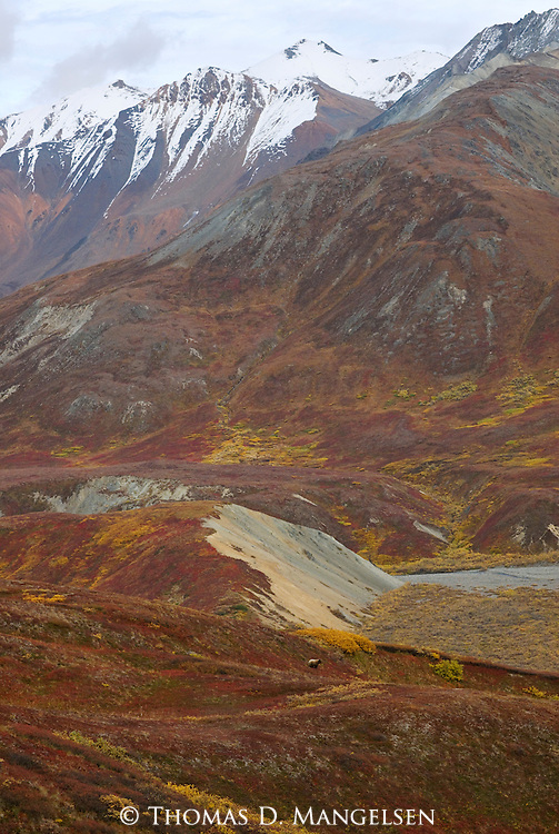 Dwarfed by the monumental landscape of the Alaska Range, a grizzly bear forages for the last of autumn's bounty along the Thorofare Pass.