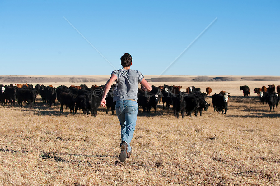 Man chasing a herd of cattle