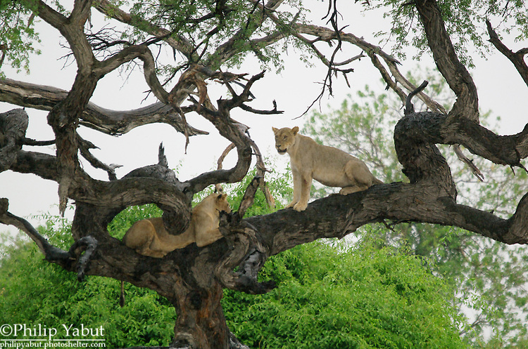 Young lions hang out in a tree at Chobe National Park, Botswana.