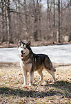 Alaskan Malamute<br />