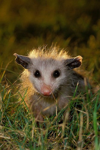 Cute baby possum, didelphis marsupialis,  in grass, making eye contract