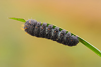A dew covered Agreeable Tiger Moth (Spilosoma congrua) caterpillar (larva) feeds on a blade of marsh grass early in the morning.