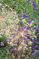Allium christophii Star of Persia seedheads + Lavandula angustifolia lavender herb