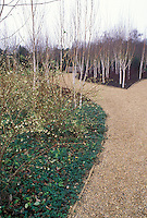 Betula utilis var.  jacquemontii (Whitebarked Himalalyan Birch) & Lonicera standeshii & Vinca in winter bloom