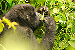 Gorillas seen during gorilla trekking in Uganda's Bwindi  Impenetrable Forest, one of the rare, remaining gorilla habitats, and a UNESCO World Heritage Site.