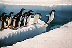 Adelie Penguins (Pygoscelis adeliae), Antarctica<br />