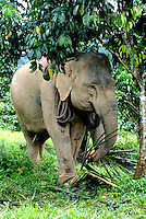The Asian elephant has played an important role in the creation of the modern Thai nation. Historically the elephant transported goods and people, and worked in the jungle forestry and agriculture that fuelled Thailand's industrialization and modernization. They have also permeated the iconography and symbolism of Buddhism, and many elephants continue to partake in religious ceremonies.