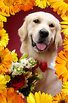 Portrait of One year old Golden Retriever with flowers surrounded by a floral frame. Isolated on white background. Brody - Gray Valley Kennels - Toronto.