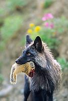 Cross fox carries an arctic ground squirrel, Denali National Park, Alaska.