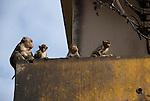 Monkeys sit on Balcony in downtown Lop Buri