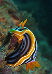 Kenting, Taiwan -- The nudibranch Chromodoris elizabethina feeding on a sponge.<br />