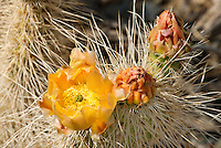161260006 a wild mojave prickly pear cactus opuntia polycantha var erinacea produces large bright yellow flowers in the wash at darwin falls in owens valley inyo county california united states