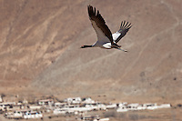 The Black-necked crane is revered in Tibet as a symbol of peace
