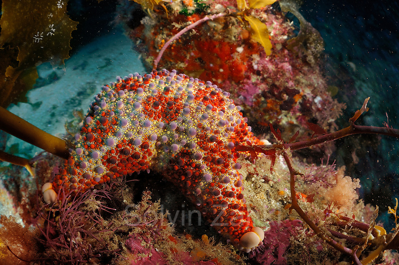 Firebrick starfish (Asterodiscus truncatus). Poor Knights Islands, Marine Reserve, New Zealand, South Pacific Ocean | Seestern (Asterodiscus truncatus), Poor Knights Islands (deutsch &quot;Arme-Ritter-Inseln&quot;) ist ein Meeresschutzgebiet vor der Nordostk&uuml;ste der neuseel&auml;ndischen Nordinsel. Neuseeland, S&uuml;dpazifischer Ozean
