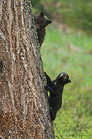 Black bear cubs in tree in Wyoming