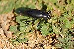 Common Black Ground Beetle, Pterostichus melanarius, Southern California