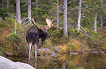 Bull Moose in Sandy Stream Pond, in the fall