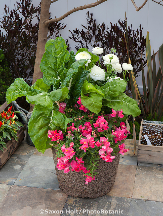 Swiss Chard 'Peppermint' with Candy Showers Rose snapdragons and 'Bloomingdale White' ranunculus in pot on patio at Sakata Seeds