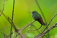 Rufous-tailed Hummingbird (Amazilia tzacatl) perching on a branch.