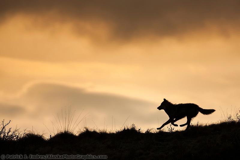 Silhouette of a gray wolf running across a mountain ridge in Denali National Park, Alaska.