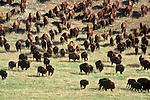 Buffalo herd in Custer State Park, South Dakota