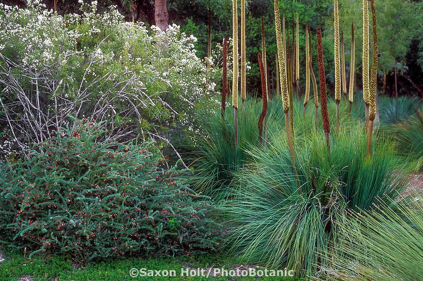 Australian plants in California garden; white flowering Chamelaucium 'Lady Stephanie' (Geraldton Waxflower) with Grevillea lanigera and Xanthorrhoea preissii (grass tree)