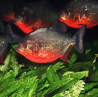 Red Bellied Piranha (Pygocentrus nattereri). Captivity