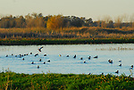 waterfowl in Consumnes River Preserve