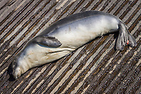 Hawaiian monk seal, Monachus schauinslandi, basking at boat ramp, young male with sicentific tags, critically endangered species, Honokohau Harbor, Kona Coast, Big Island, Hawaii, USA, Pacific Ocean