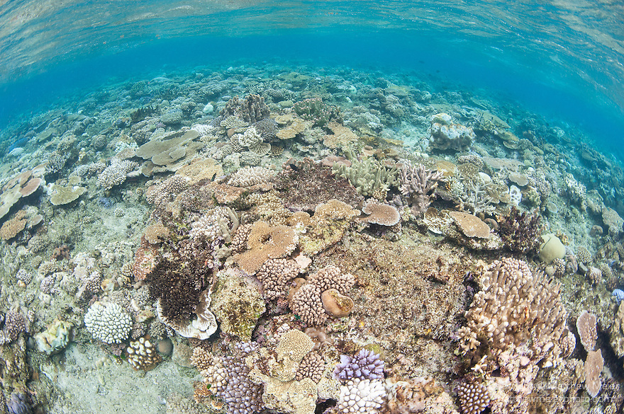 Bligh Waters, Vatu I Ra Passage, Fiji; a field of hard corals in shallow water