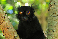 Male Black Lemur head (Eulemur macaco macaco), Lokobe Nature Special Reserve, Nosy Be, Northern Madagascar